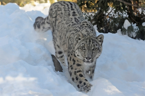 0114snow_leopard